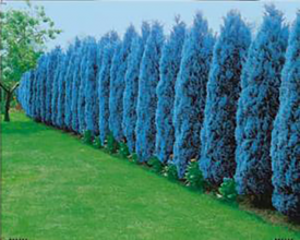 Chiparos albastru oţeliu (3 buc)