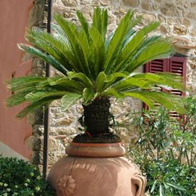 Palmierul sago (Cicas)