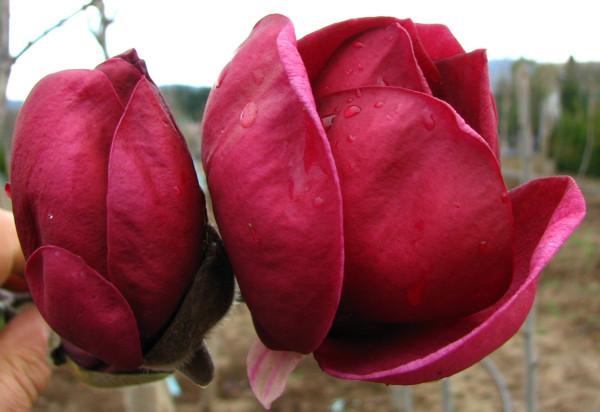 Magnolie Black Tulip