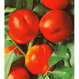Nectarin Andosa